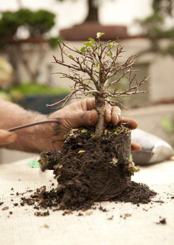 T cnica oriental passo a passo ensina a cultivar um - Cultivo de bonsai ...
