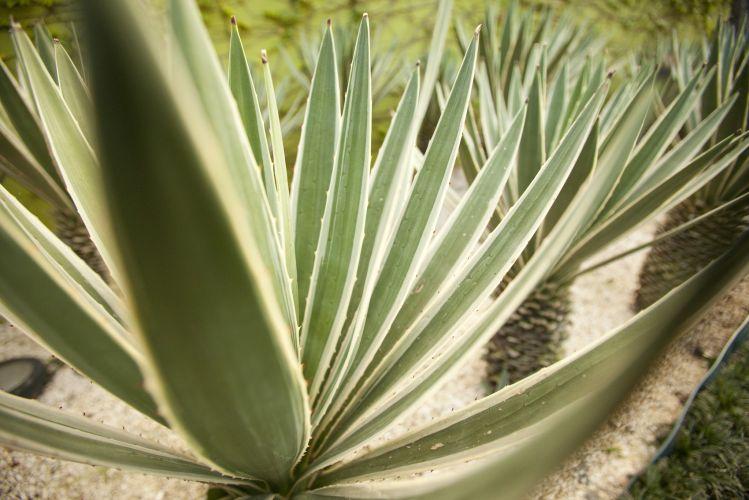 Os suculentos agaves do canteiro enfatizam o estilo tropical do jardim planejado por Faisal