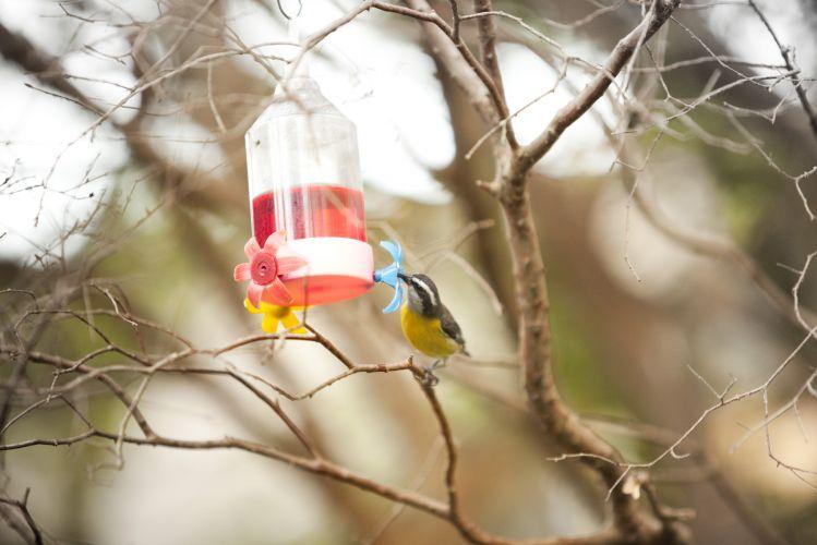 Na jabuticabeira há um bebedouro que atrai passarinhos