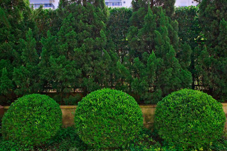 Detalhe da composição geométrica do jardim criado por Gigi Botelho para a área externa de um apartamento térreo, em São Paulo. Em primeiro plano, buxinhos (Buxus sempervirens) podados em fomato de bola; no fundo, pinheirosda espécie kaizuka (Juniperus chinensis torulosa) e ao fundo, formando uma parede viva, murtas (Murraya paniculata)