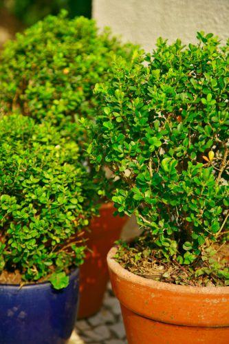 Detalhe dos buxinhos (Buxus sempervirens) plantados em vasos de cerâmica de diferentes cores e formatos