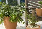 Passo a passo: como cultivar árvores frutíferas em vaso - Katia Kuwabara / UOL