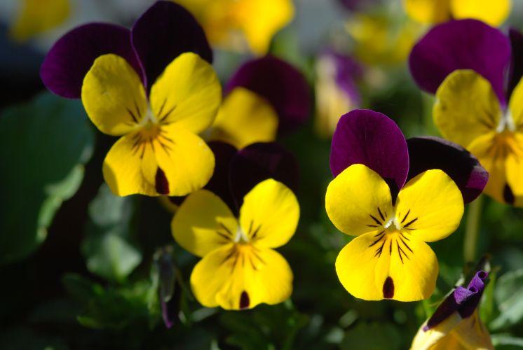 Plantas de inverno flores para colorir a casa na esta o - Quand planter les pensees ...