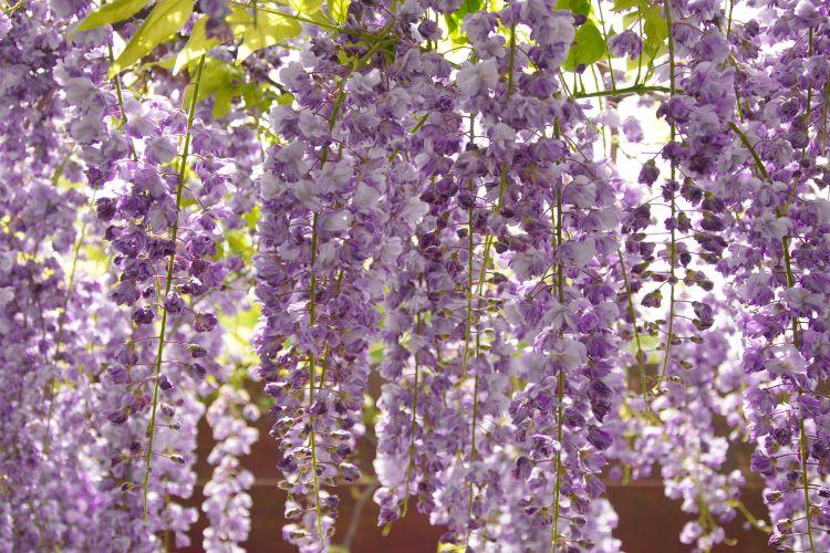 As glicínias são utilizadas em muros e jardins e gostam de tomar sol