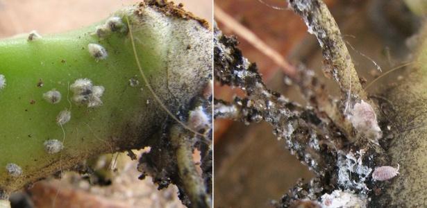 Diferentes formas de cochonilhas, uma das pragas mais prejudiciais às plantas ornamentais