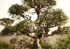 Técnica oriental: passo a passo ensina a cultivar um bonsai - Fabiano Cerchiari/UOL
