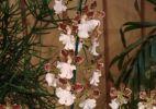 80ª Exposição de Orquídeas