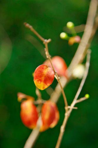 Detalhe das folhas da jabuticabeira (Plinia trunciflora)
