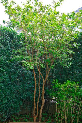 Destaque da jabuticabeira (Plinia trunciflora) plantada na jardineira, no canto do jardim, bem próximo ao SPA aquecido