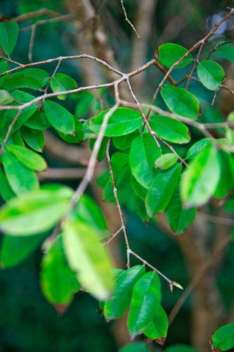 Detalhe das folhas de uma unha de gato (Ficus pumila)