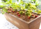 Passo a passo: aprenda a cultivar morangos - Fabiano Cerchiari/UOL