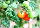 Passo a passo: trepadeira de tomatinhos - Aline Arruda / UOL