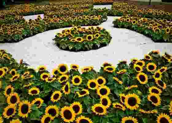 O jardim da artista Beatriz Milhazes no Festival de Jardins do MAM-SP. Ela criou um sol com mais de 1.500 girassóis em semicírculos concêntricos e formas geométricas irregulares - Alessandro Shinoda/Folhapress
