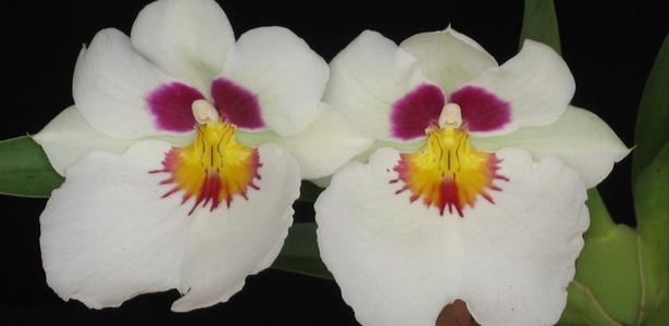 A orquídea Miltônia Ana Hickmann, batizada com o nome da apresentadora, estará na 1ª Exposição de Orquídeas do Santana Parque Shopping, de 10 a 20 de março de 2011 - Divulgação