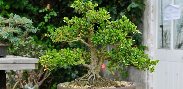 A mostra apresentará bonsais a partir de um ano até plantas com mais de 80 anos - Getty Images
