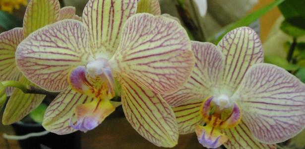 Orquídea Phalaenopsis Brother Showpiece que estará na exposição em São Paulo - Divulgação