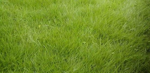 Esmeralda (Zoysia japônica): com folhas estreitas, pontiagudas, de cor verde-esmeralda, essa é a variedade de grama mais produzida e comercializada no Brasil - Divulgação