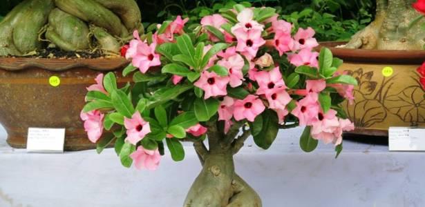 Rosa do Deserto, Adenium obesum, cultivada em Arujá e destaque da Expo Aflord 2011 - Divulgação