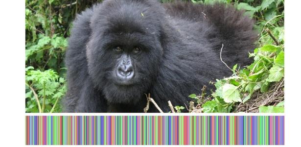 """Código de barra com o DNA de um gorila apresentado no Projeto Internacional Código de Barra da Vida, parte da mostra """"Unnamed"""", da Bienal de Design de Gwangju, na Coreia do Sul"""