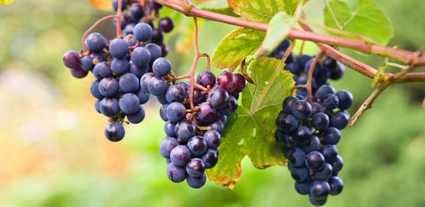 A videira da espécie <i>Vitis labrusca</i> presta para uso ornamental e também produz frutos. A doçura da uva está diretamente relacionada com a insolação: quanto mais sol, mais doce  - Getty Images